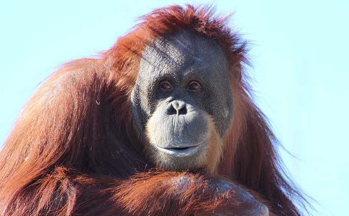 12 Breves e interessantes curiosidades sobre o Orangotango