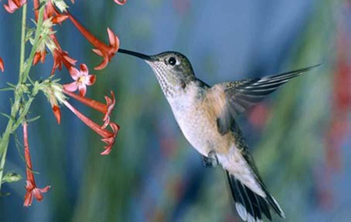 Os beija-flores são aves da família Trochilidae, distribuídas em 330 espécies, com 80 vivendo no Brasil. O beija-flor é uma ave típica do continente americano. Embora seja mais abundante nas regiões próximas ao Equador, pode ser encontrado do Alaska a Patagônia. A maior espécie é o beija-flor gigante, que pesa em torno de 25 gramas e vive em altitudes que podem superar os 4 mil metros. A menor é o beija-flor abelha, que pesa apenas 2 gramas. Com cerca de 30 milhões de anos, o registro fóssil mais antigo de um beija-flor foi encontrado na Alemanha, um país onde curiosamente não existe esse tipo de ave. Esse tipo de ave se alimenta basicamente de néctar, embora algumas espécies também comam insetos e pequenos animais. A língua fina do beija-flor serve para tirar o néctar do fundo das flores. Trata-se de uma língua extremamente veloz, capaz de carregar néctar 13 vezes por segundo. Por se alimentar do néctar no interior das flores, os beija-flores são considerados importantes agentes polinizadores. Acredite se quiser, mas o coração do beija-flor bate em torno de 500 vezes por minuto, chegando a 1 200 durante o voo. Aliás, o coração é responsável por 15% do volume do corpo desse tipo de ave. O beija-flor bate as asas 90 vezes por segundo, quatro vezes mais rápido que uma libélula. Ele também é capaz de voar para trás e até de ponta cabeça. Por falar nisso, você sabia que algumas espécies podem voar a até 150 quilômetros por hora? O beija-flor não bate a asa de cima para baixo para ficar suspenso no ar, mas da frente para trás. Detalhe: ele só fica parado quando vai se alimentar. Os machos são mais coloridos do que as fêmeas. Acredita-se que a plumagem chamativa do macho seja um recurso para atrair parceiras. Fontes: Wikipédia, UOL Educação, How Stuff Works, Galileu.