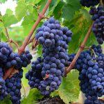 15 Curiosidades sobre o cultivo, utilidade e importância das uvas