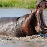 Informações curiosas sobre os perigosos hipopótamos