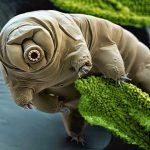 10 Curiosidades sobre os bizarros Tardígrados