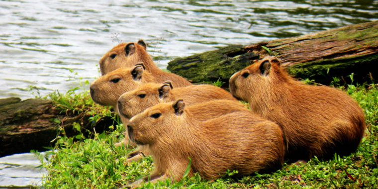 Curiosidades sobre as capivaras e outro mamíferos brasileiros