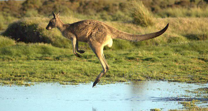 Curiosidades-sobre-os-cangurus