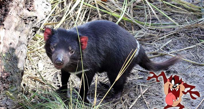 Diabo da Tasmânia: Curiosidades sobre o animal que inspirou o Taz