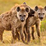 10 Curiosidades sobre as Hienas