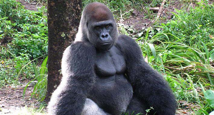15 Curiosidades interessantes sobre os Gorilas